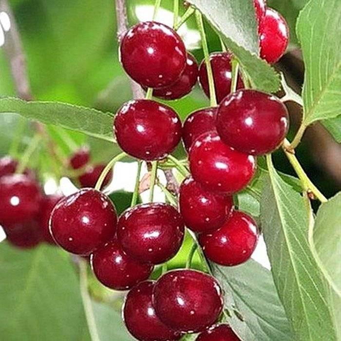 Вишня молодёжная –признанный садоводами зимостойкий сорт