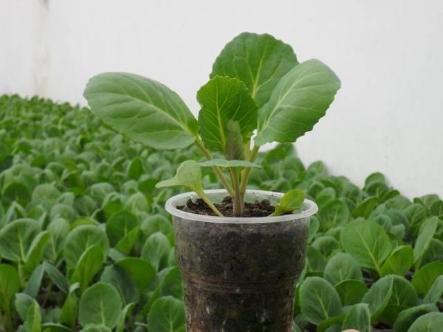 Как вырастить рассаду ранней капусты, чтобы она не вытягивалась?