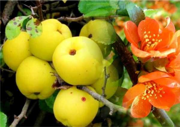 Японская айва: как посадить и вырастить кустарник
