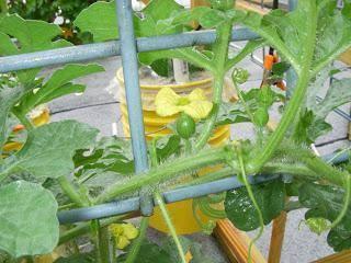 Арбузы на подмосковных грядках: сорта для подмосковья, агротехника и особенности ухода
