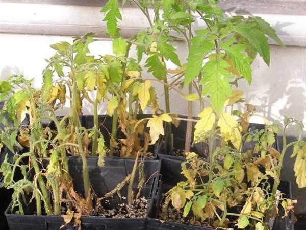 Дерево айва: посадка и уход, фото, обрезка, прививка, описание сортов, болезни и вредители