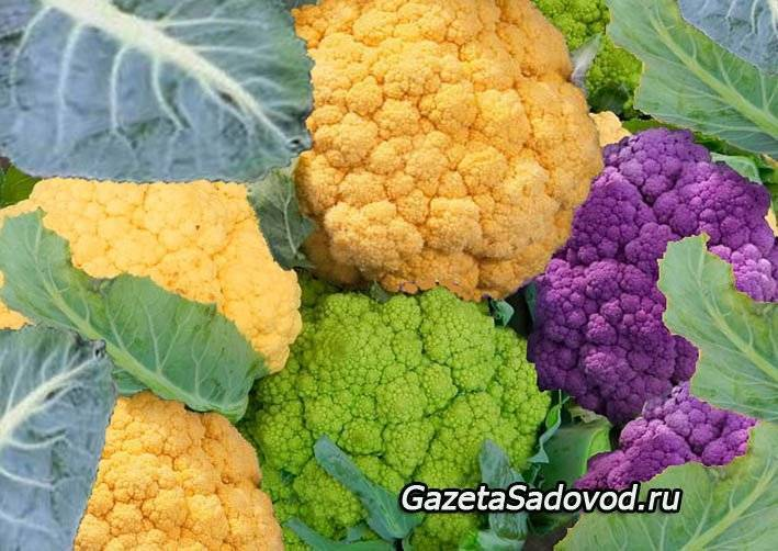 Цветная капуста: сорта и порядок выращивания культуры