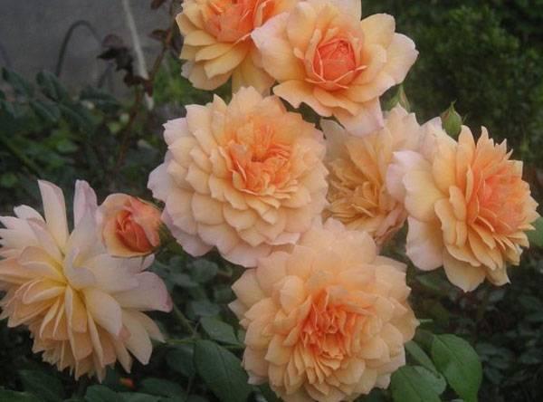 О розе Amazing Grace: описание и характеристики сорта, уход и выращивание