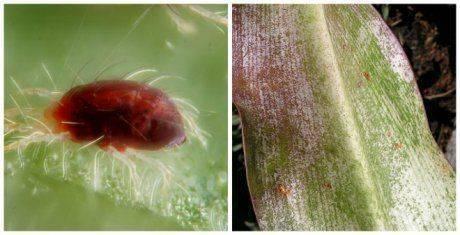 Болезни и вредители лилий – фото и описание