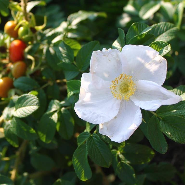 Особенности сорта розы альба