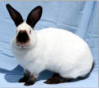 Калифорнийские кролики - все о породе, разведение, размножение, фото и видео | россельхоз.рф