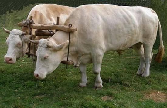 Кастрация быков