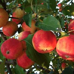 О яблоне Красная горка: описание сорта, характеристики, агротехника, выращивание