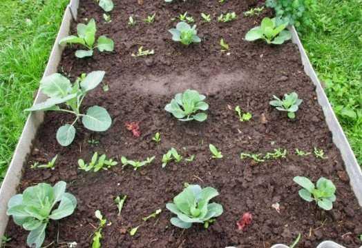 Посадка брюссельской капусты в 2020 году по лунному календарю: сроки на рассаду и посев, выращивание, уход