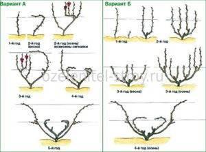 Обрезка винограда с первого года — пошаговая инструкция для четырехрукавной и веерной формировки