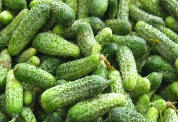 О повышении урожайности огурцов: когда созревают, сколько раз плодоносят