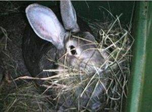 Сколько длится беременность у кроликов и как принять роды?
