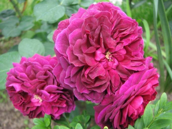 Парковые розы: сорта, выращивание, посадка и уход пошагово