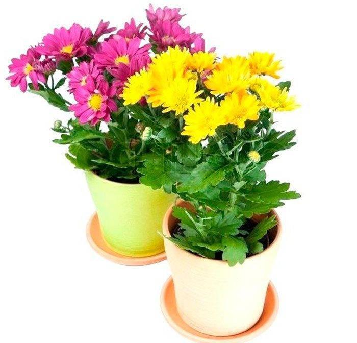 Хризантемы шаровидные: посадка и уход, зимовка, размножение, выращивание, хранение зимой