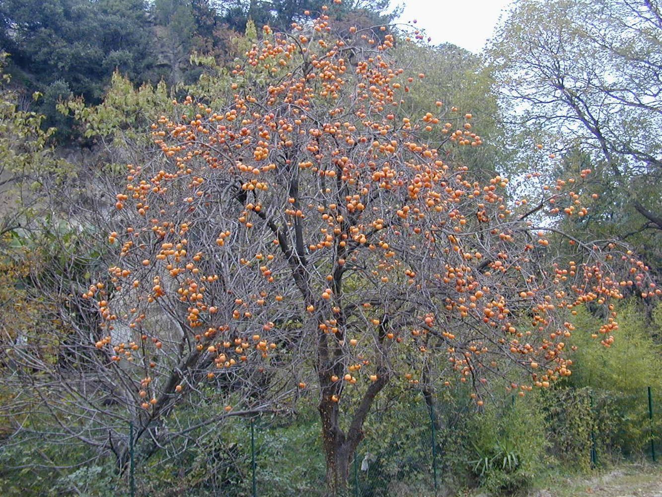 Дерево облепиха: посадка и уход в саду, фото, размножение, обрезка, сорта