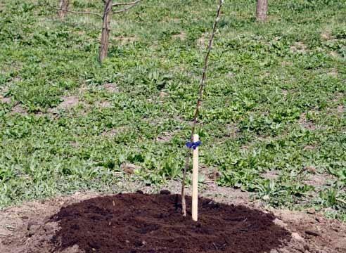 Что можно посадить между яблонями. что посадить рядом с яблоней
