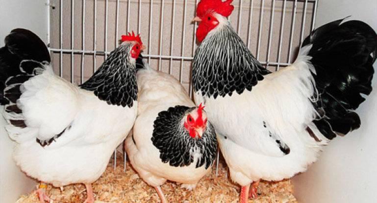 Знаменитая порода кур с экстравагантным видом — суссексы