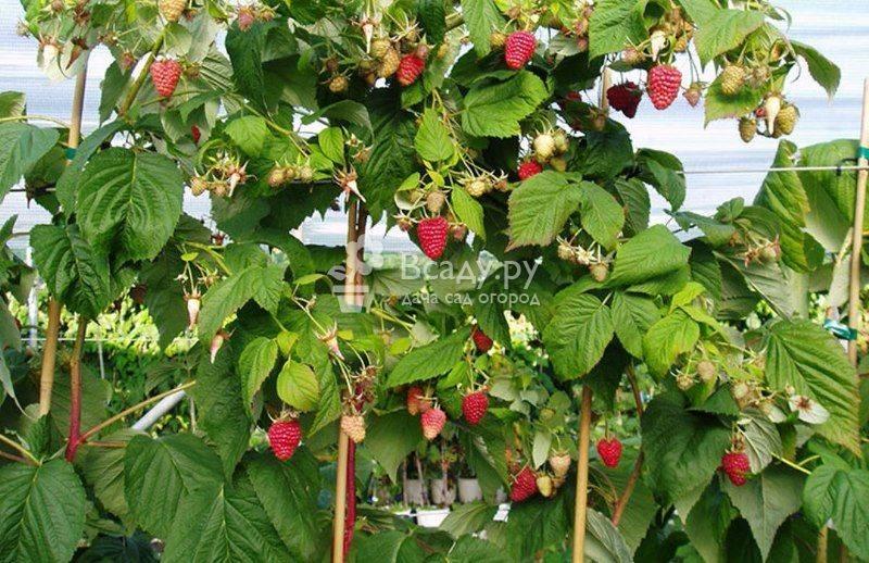 Малиновое дерево (штамбовая малина) таруса: основные характеристики, урожайность
