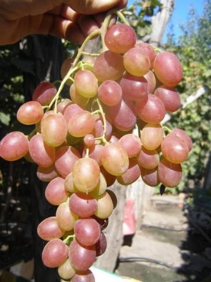 Виноград кишмиш 342: характеристика и описание, посадка и уход