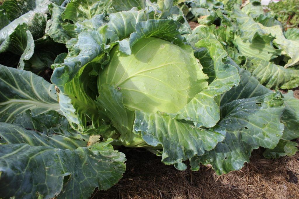 Правильный полив капусты; как часто поливать