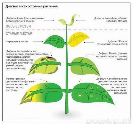 Почему листья у груши покрываются жёлтыми пятнами?
