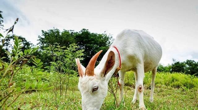 Рекомендации по разведению коз в домашних условиях для начинающих животноводов