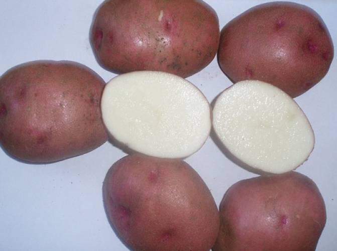 Семенной картофель: выбираем сорт и учимся выращивать из семян дома