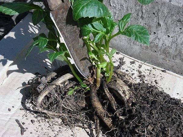 Георгины посадка и уход в открытом грунте: 6 популярных сортов и пошаговая инструкция выращивания