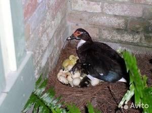 Когда начинают нестись утки, сколько несут яиц в год?