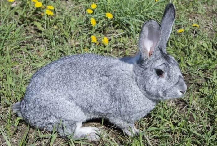Вес кролика: крупногабаритные породы и их вес по месяцам