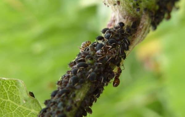 Весенняя обработка вишни и черешни от болезней и вредителей: когда и чем опрыскивать деревья
