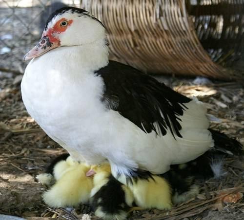 Муларды (утки): выращивание и уход. отзывы фермеров