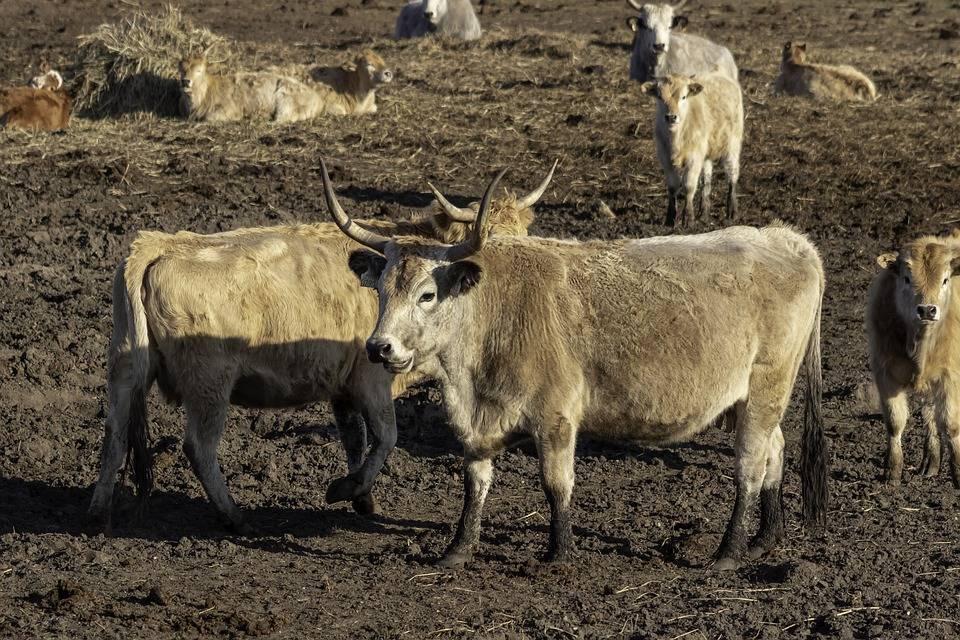 Крупный рогатый скот — википедия. что такое крупный рогатый скот