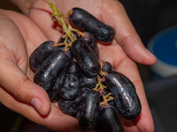 Виноград велика: описание сорта, особенности выращивания, фото, отзывы