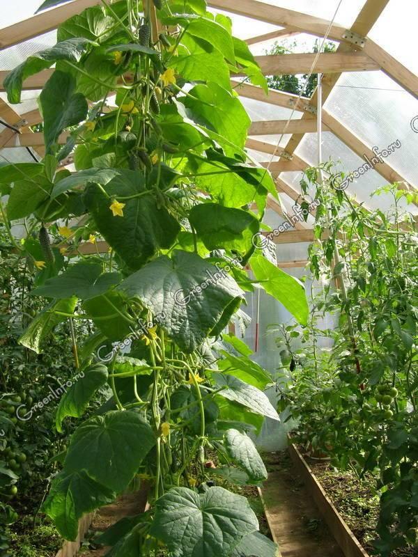 Совместимость овощей в теплице – залог богатого урожая