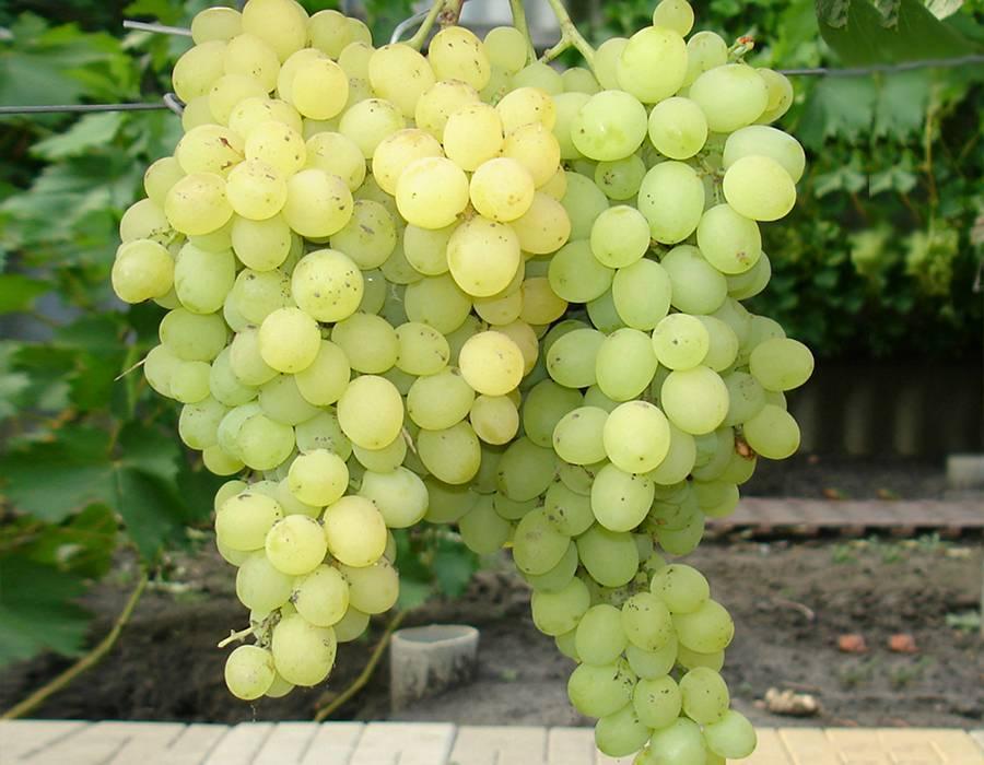 """Виноград """"восторг черный"""": описание сорта, фото, характеристика и особенности, советы по борьбе с вредителями"""
