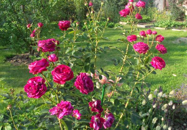 Розы дэвида остина: описание, посадка и уход