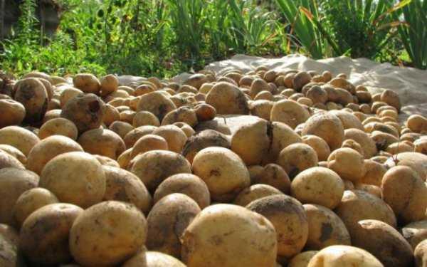 "Сорт картофеля ""каратоп"": описание, фото, характеристика, достоинства и недостатки"