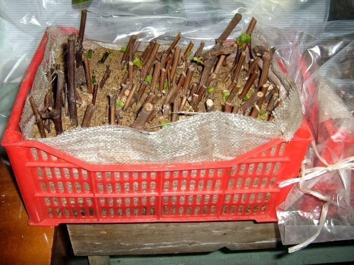 Укоренение черенков  винограда в домашних условиях