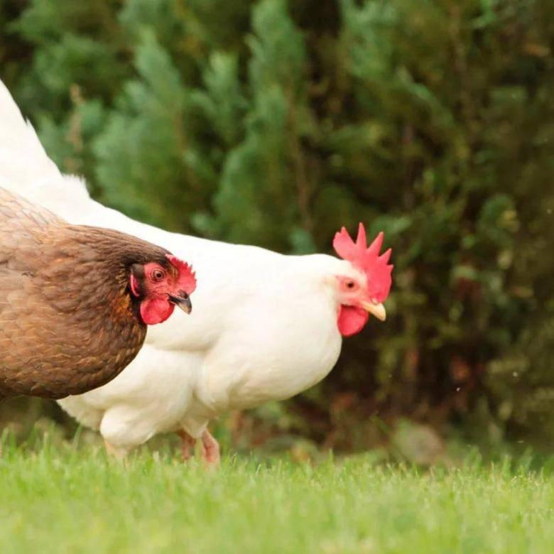 Как определить возраст курицы несушки - общая информация - 2020