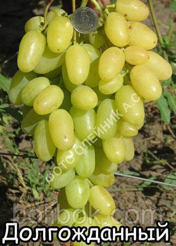 Выбор самых вкусных сортов винограда