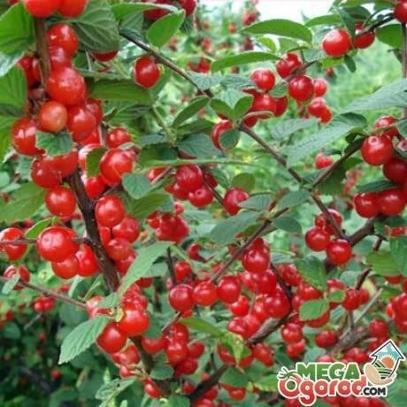 Почему сохнут ветки войлочной вишни после цветения