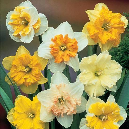 Нарциссы: посадка осенью в открытый грунт