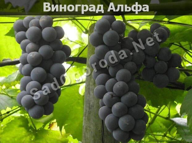 Альфа - описание сорта винограда