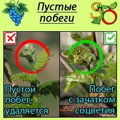Как правильно удалить побеги на винограде