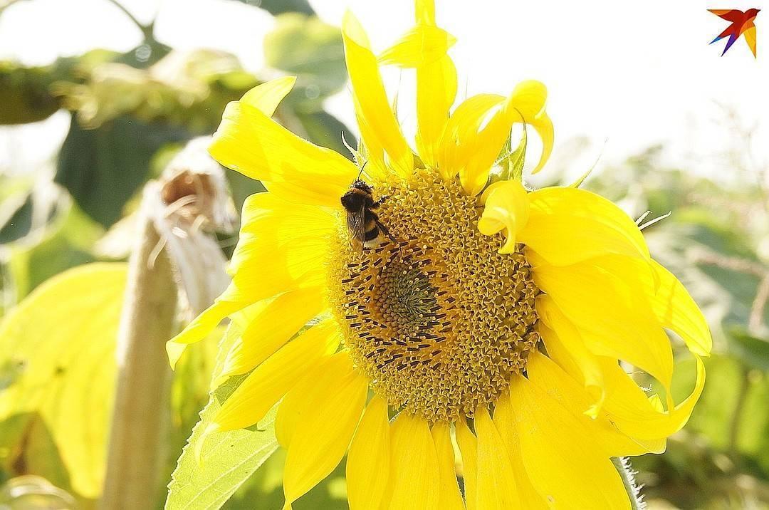 Мед из подсолнечника: польза и вред, полезные свойства и противопоказания