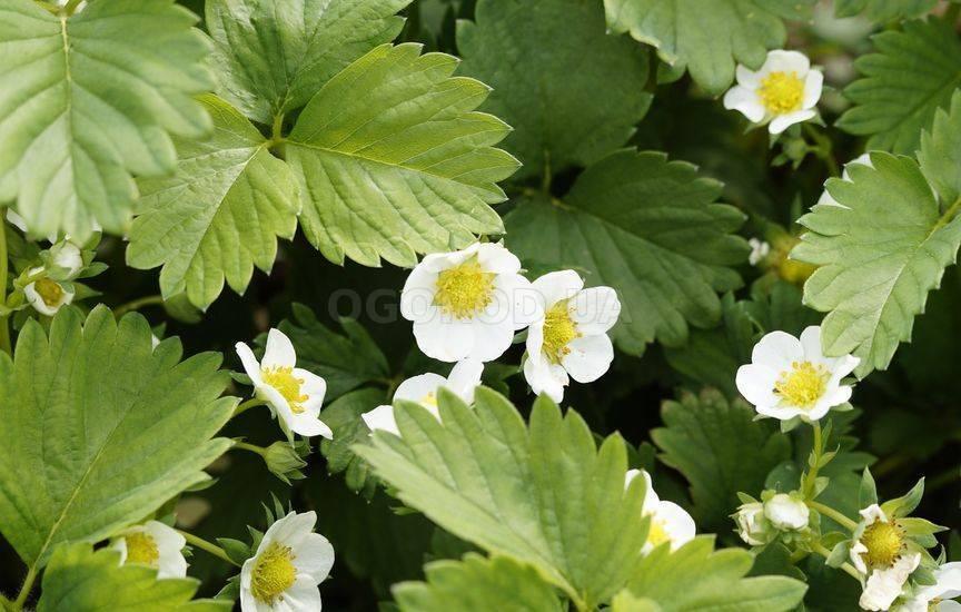 Почему клубника не плодоносит – сад и огород