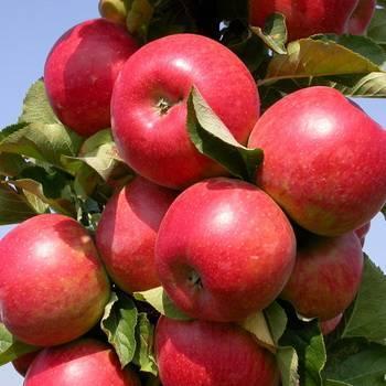 Лучшие сорта яблонь | фото | описание | отзывы