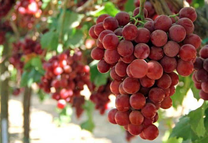 Виноград гурман: описание сорта и его фото, разновидности - ранний, лакомка, радужный