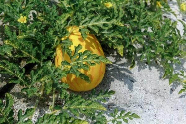 Выращивание арбузов в теплице и открытом грунте